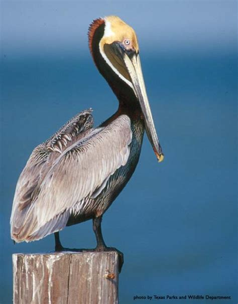 Where in the world is Sidney?: The Noble Pelican
