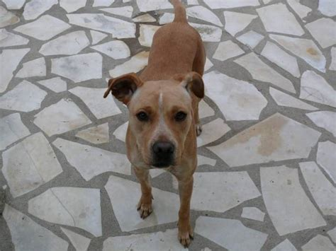 Photo maddy : American Staffordshire Terrier femelle (1 an)
