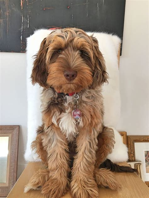 Chocolate Merle Phantom Doodle puppy Love this Breed and