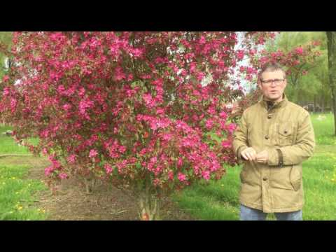 Cercis canadensis 'Forest Pansy' kopen? | Tuincentrum