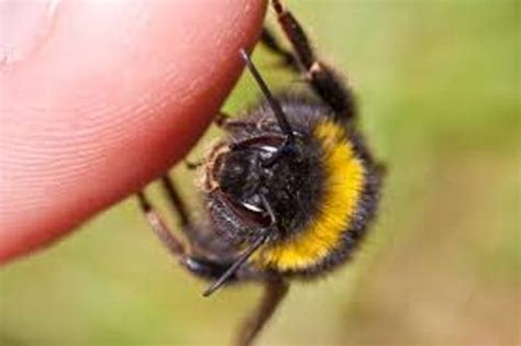 10 Interesting Bumblebee Facts - My Interesting Facts